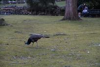 觅食的孔雀