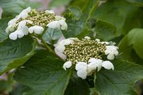 泰山上的忍冬科植物琼花