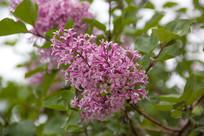 泰山上的丁香花