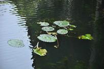 浮萍睡莲植物