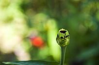 绿色的花蕾