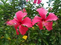 五瓣儿红花