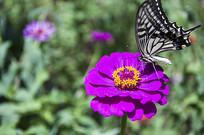 紫花和蝴蝶