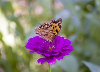紫红花上的蝴蝶