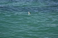 蓝色海面和海鸥