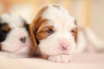 睡醒的小幼犬