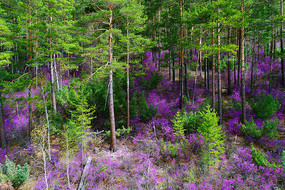 杜鹃花盛开的茂密松林