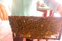 蜂农手里满是蜜蜂的蜜蜂框