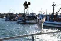 展翅的海鸥