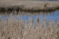 墨尔本天鹅湾湿地公园芦苇荡