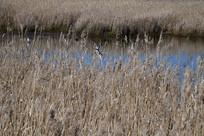 墨尔本天鹅湾湿地芦苇