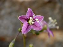 药用植物枸杞美丽的花朵