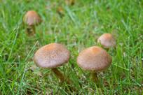 雨后城市草坪野生的蘑菇