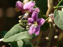 枸杞紫红色的花朵