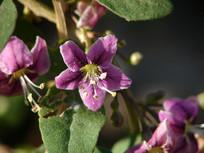 枸杞紫红色花朵和枝叶