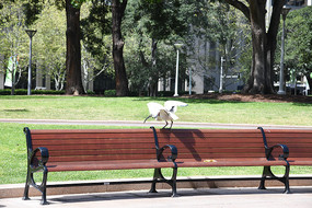 澳洲长嘴鹭