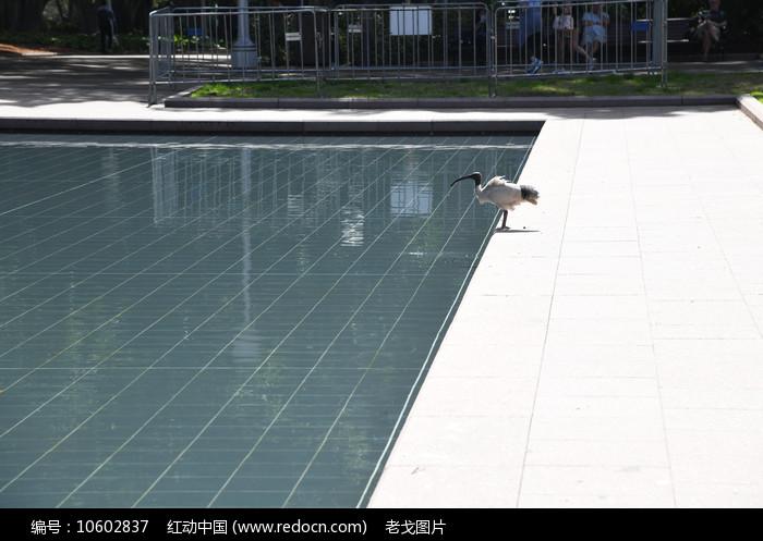 悉尼海德公园水池和长嘴白鹭图片