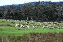 澳洲塔斯马尼亚牧场