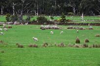 塔斯马尼亚草原绿茵
