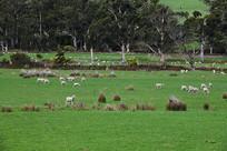 塔斯马尼亚草原牧羊