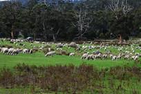 塔斯马尼亚草原羊群