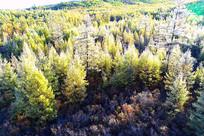 大兴安岭霜降后的金色松林