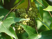 枫香树叶子后面的蒴果