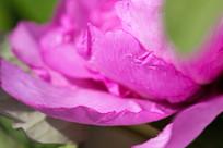粉紫色牡丹花花瓣