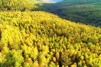 航拍大兴安岭金色森林