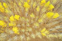 航拍晚秋金色的树林