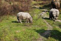 尼泊尔珍稀白犀牛