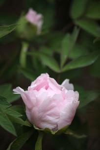 浅粉色牡丹花特写