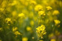 田野里的油菜花