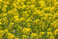 田园里的油菜花