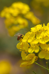 小蜜蜂和油菜花