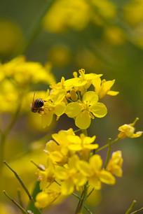 一只小蜜蜂在油菜花上