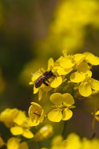 一只在油菜花上采蜜的蜜蜂