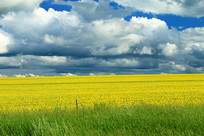 油菜花开的田野