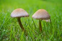 青草间野生的蘑菇