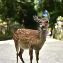 日本奈良的小鹿