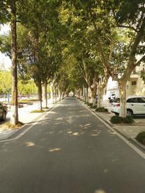 校园行道树