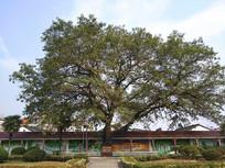 校之魂大树