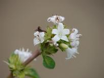 茜草科植物六月雪开满白色小花