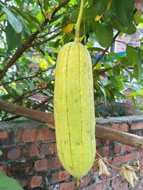 成熟的水瓜