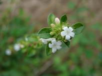 野生六月雪白色细小的花朵