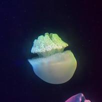 灯光下的水母