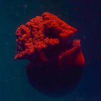 红色水母的触角