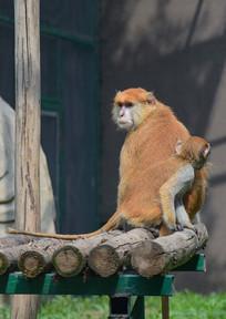 回头张望的猴子