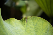 落在荷叶上的蜻蜓