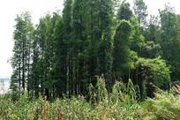 南坦杉树林